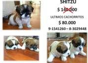 Vendo hermosos cachorritos shitzu