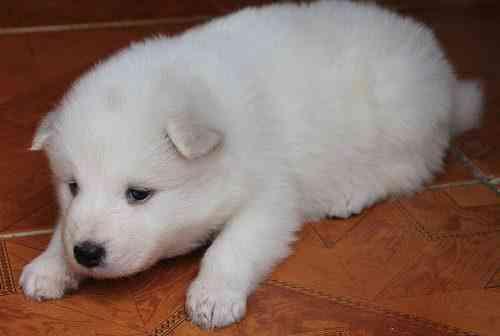 Se venden Cachorros Samoyedo