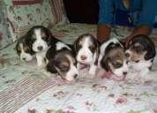 Se venden hermosos perritos beagles