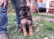 Venta cachorra pastor alemán