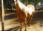 Vendo caballo cuarto de milla liguero en 1700000