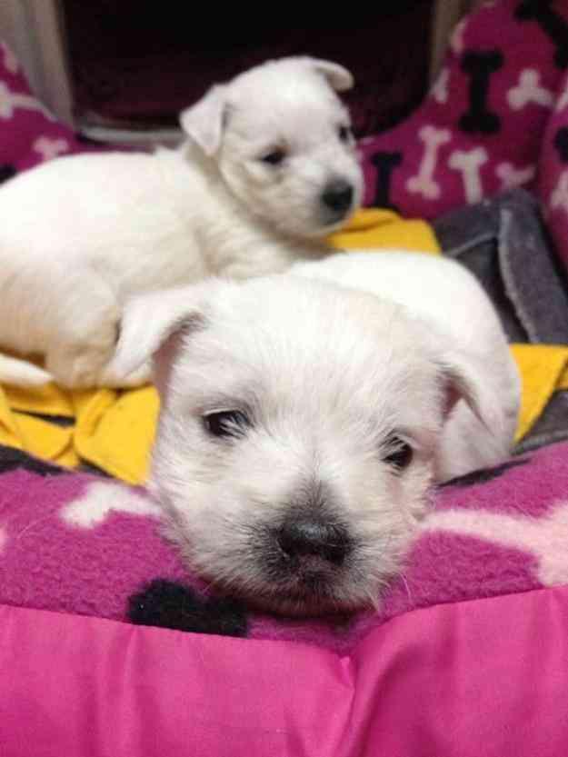 Cachorra West Highland White Terrier 60 Días