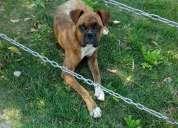 Perro boxer macho encontrado