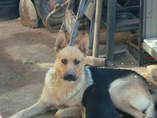 Se Venden Cachorras Pastoras Aleman vacunados desparasitados