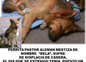 Perdida perrita  pastor mestiza