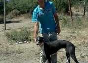 Perro galgo para cruzas
