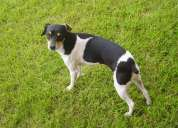 Se perdio mi hermosa perrita toy fox terrier