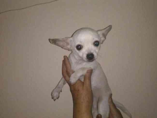 gran oportunidad Chihuahua miniatura Macho y Hembra