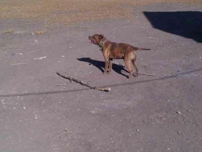Hola ando en fusca de un doberman o dogo argentino o bull terrier