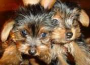 Cachorritos yorkshire terrier con pedigree