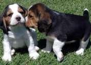 Tricolor beagle cachorros con pedigree loe
