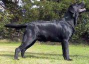 Labrador retriever cachorros inscritos hijos champion