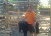 Se venden caballos falabella