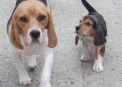 Ultima cachorra beagle!!!