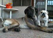 Vendo perra mastín ingles de 11 meses