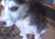 Se regala linda cachorra siberiana de 4 meses
