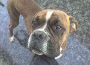 Se me perdio mi perro boxer