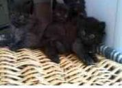 Urgente!! gatita  angora rescatada necesita hogar.
