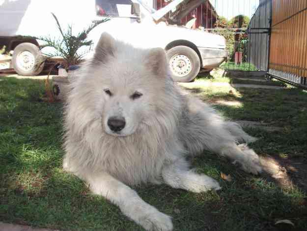 encontre un perro samoyedo macho, blanco entero de 7 años aprox.