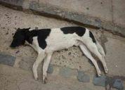 Perro blanco con negro