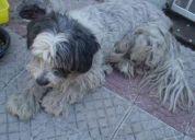 Perro  maltes o parecido blanco  negro busca su casa o quien adopte