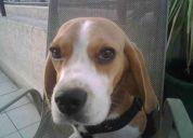 Se perdio beagle enano de un aÑo
