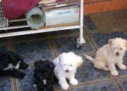 Se dan en adopción tiernos cachorritos