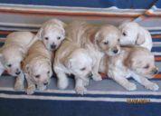 Regalo perritos poodle medianos