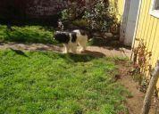 Se busca perro mezcla temuco