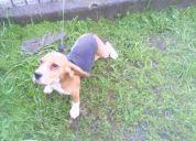 Vender perro beagle
