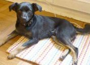 perro encontrado. negro con patas amarillas
