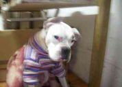 Boxer albino extraviado (enfermito) integrante de la familia
