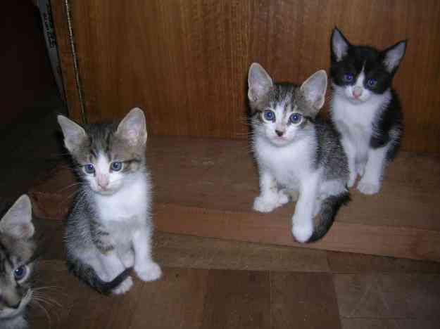 Se regalan gatitos de un mes desparasitados las condes - Gatitos de un mes ...