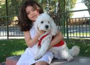 Se regala perrito poodle