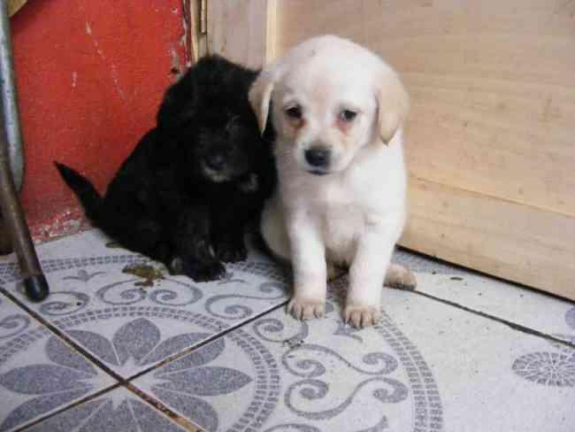 Regalo Perritos Poodle Mestizo 1 mes edad - La Granja - Animales