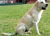"Labrador beige busca tener "" tach an gou"""
