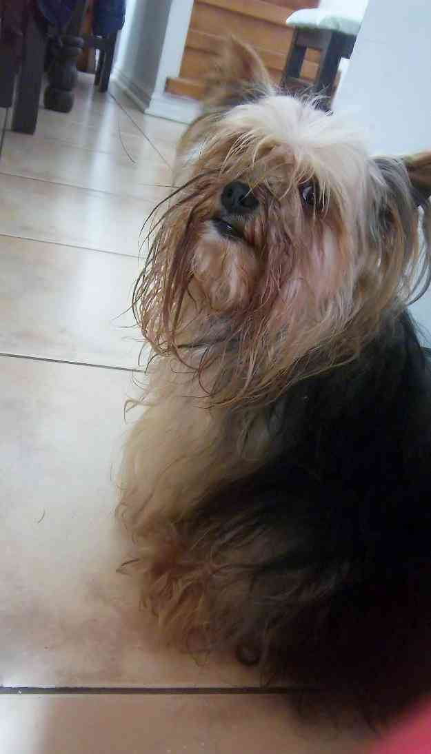 Yorksire Terrier Se Busca Sindenpart - Coquimbo ofrezco recompenza