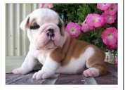 Bulldog inglés inscritos listos para entrega