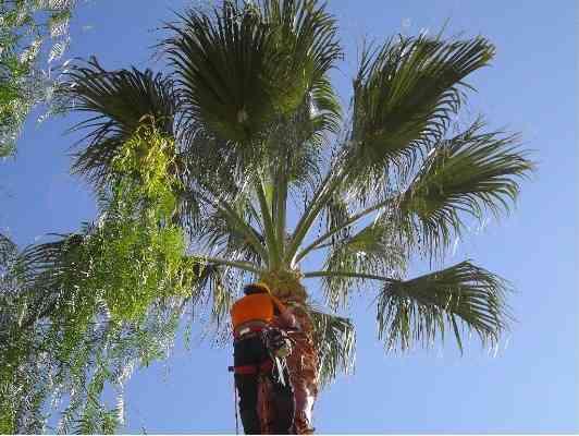 poda y tala de rboles y palmeras santiago arreglos