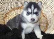 Cachorros husky siberiano ojos azules disponibles.