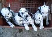 Dalmatas cachorros con pedigrí - san pedro lagunillas